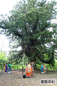 皇壇の杉①