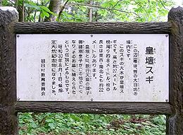 皇壇の杉②